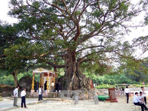 Thừa Thiên - Huế: Cây đa Đá Bạc được công nhận là Cây di sản